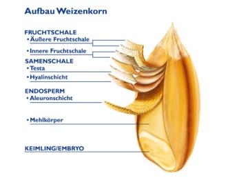Aufbau-Weizenkorn
