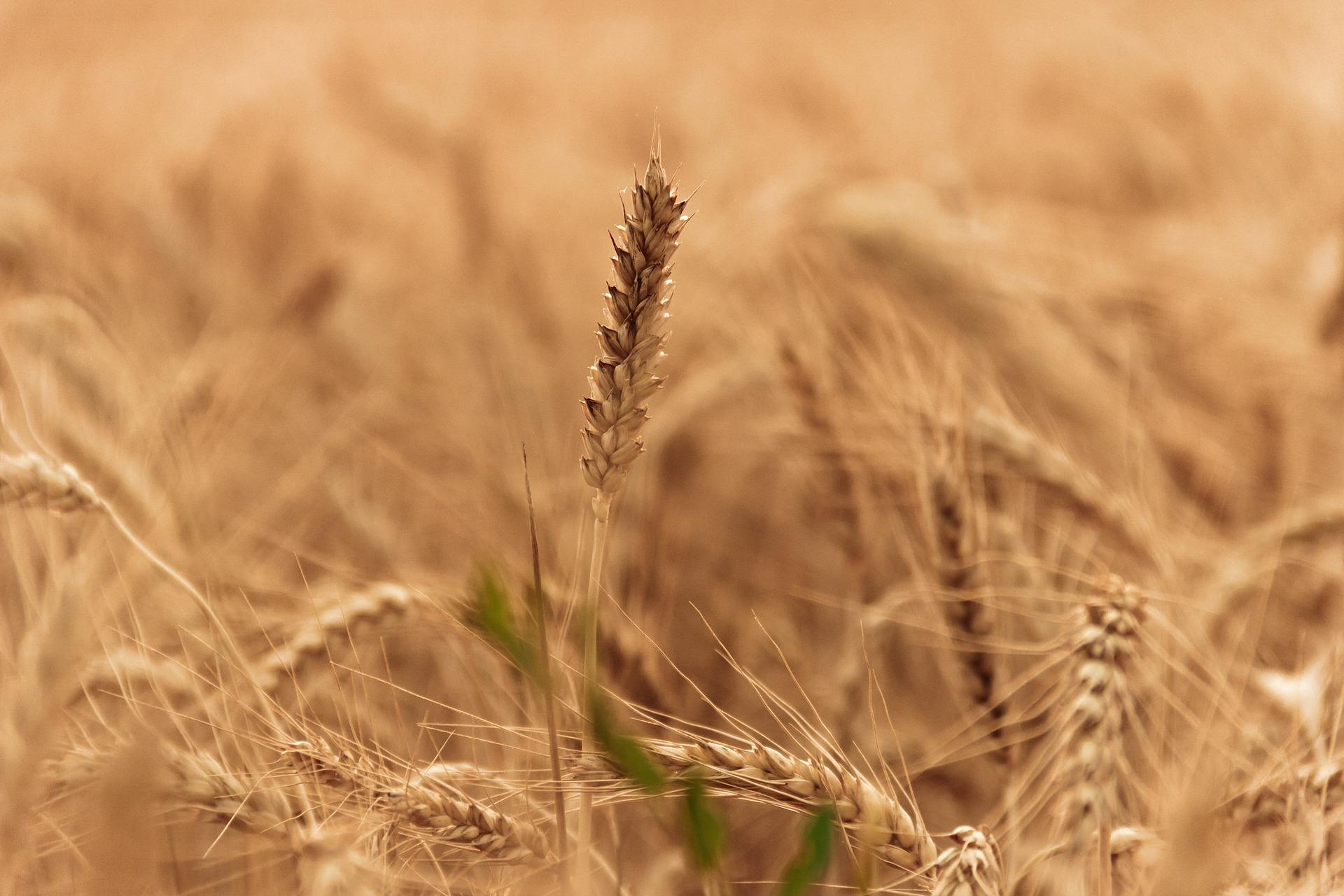 wheat-field-1205606_1920